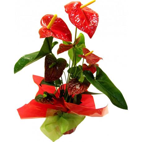 Anthurium-planta de interior