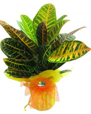 Planta color