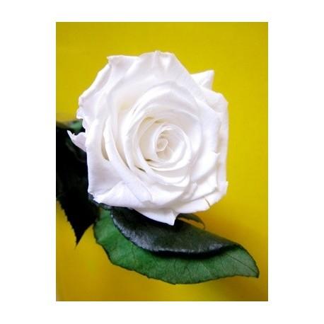 Rosa eterna blanca